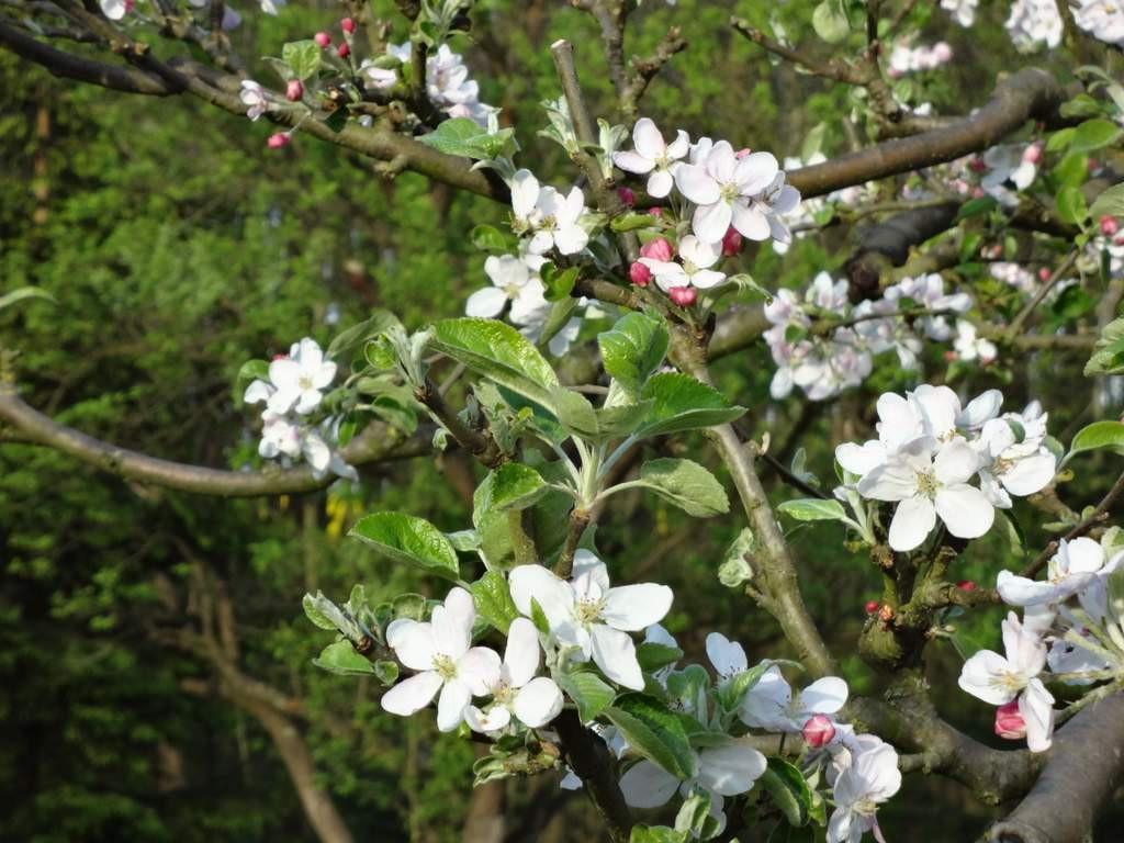 Apfelblüte klein 22