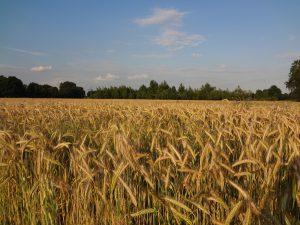 Getreide (1)